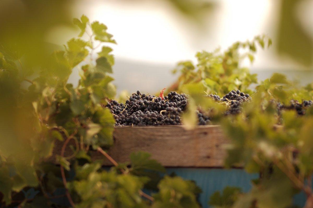 Sélection massale Languedoc
